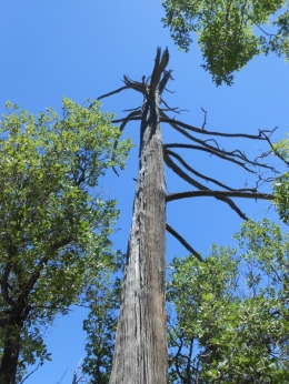 A dead tree. The park borders the Lincoln National Forest, so there are pines everywhere.