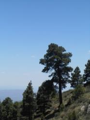 A nice pine tree