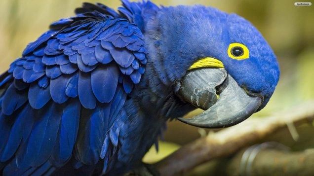 Blue-Parrot-Wallpaper